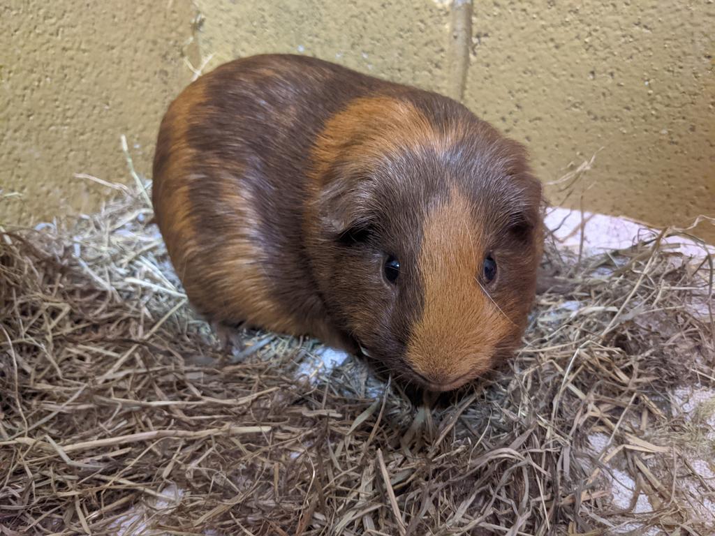 image of Pongo
